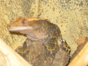 Jaxson- Crested Gecko