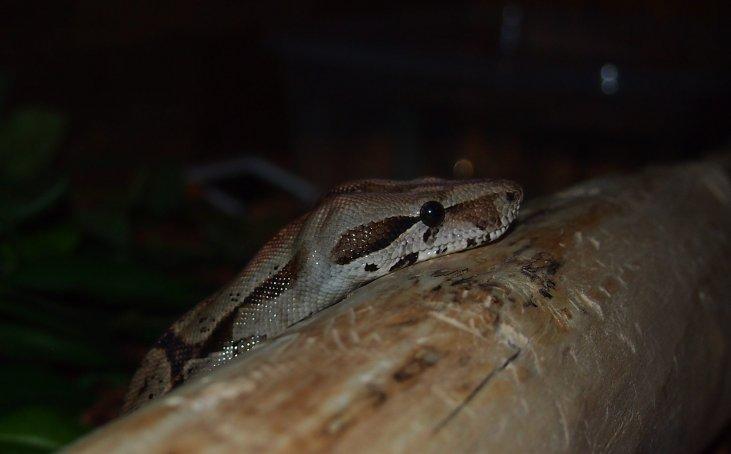 Boa Constrictor Feeding Chart Free Pdf Animals At Home