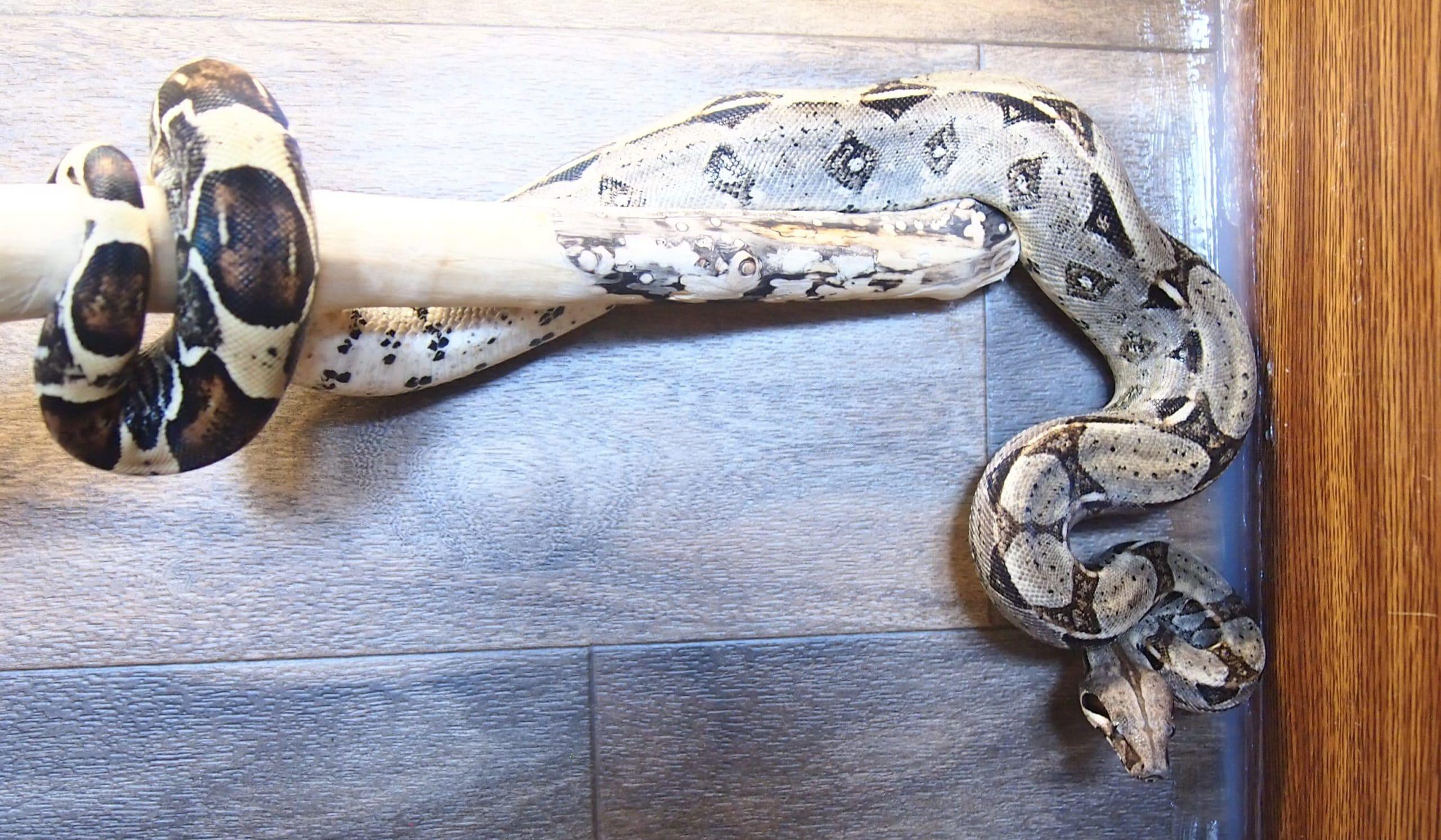 Healthy Boa constrictor