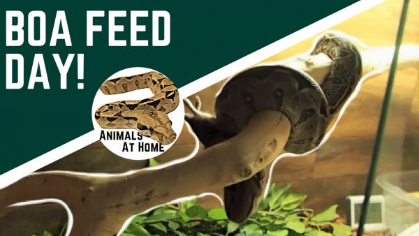 Boa Constrictor Feeding Chart