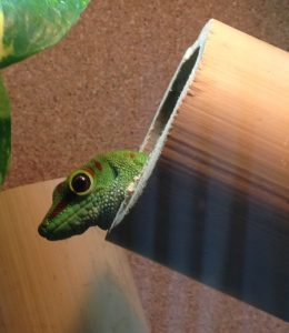 Day Gecko Care