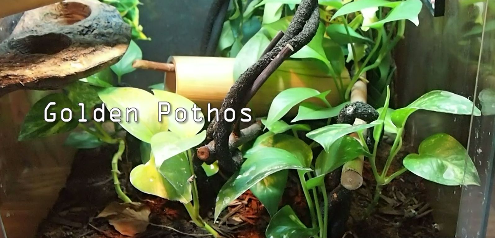 Day Gecko Care: Live plants for Day Geckos