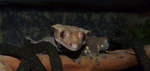Crested Gecko- Jaxson