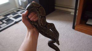 Handling a Boa