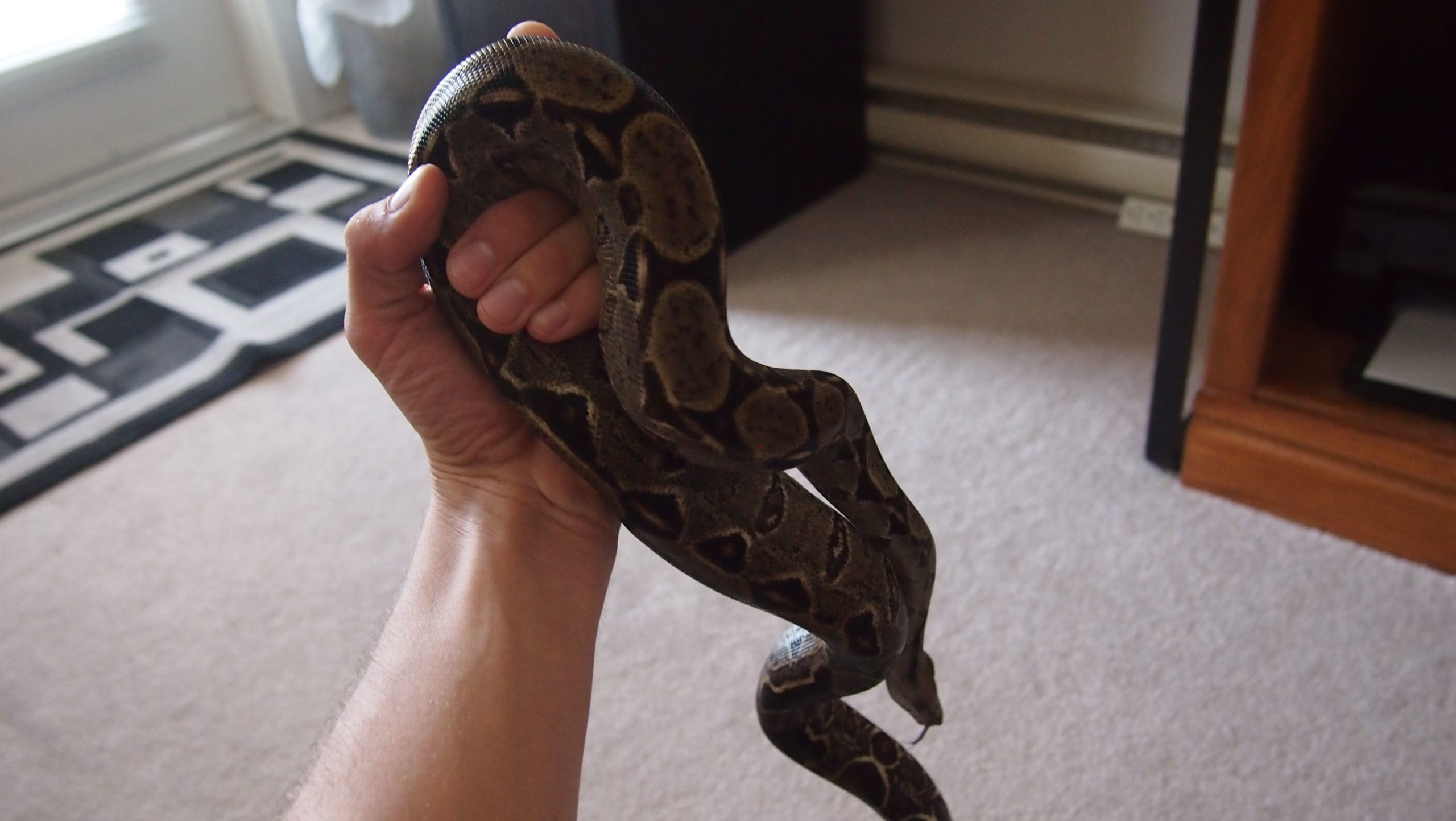 Central American Boa Care: 3 year old