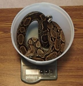 Weighing a Boa constrictor