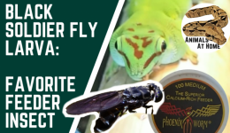 BSFL: Best Feeder Insects