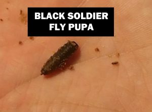 Black Soldier Fly Pupa