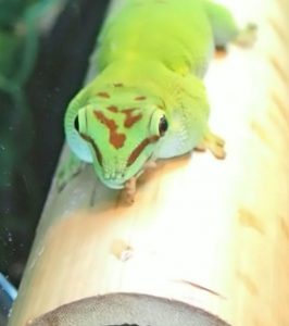 Day Gecko eating BSFL