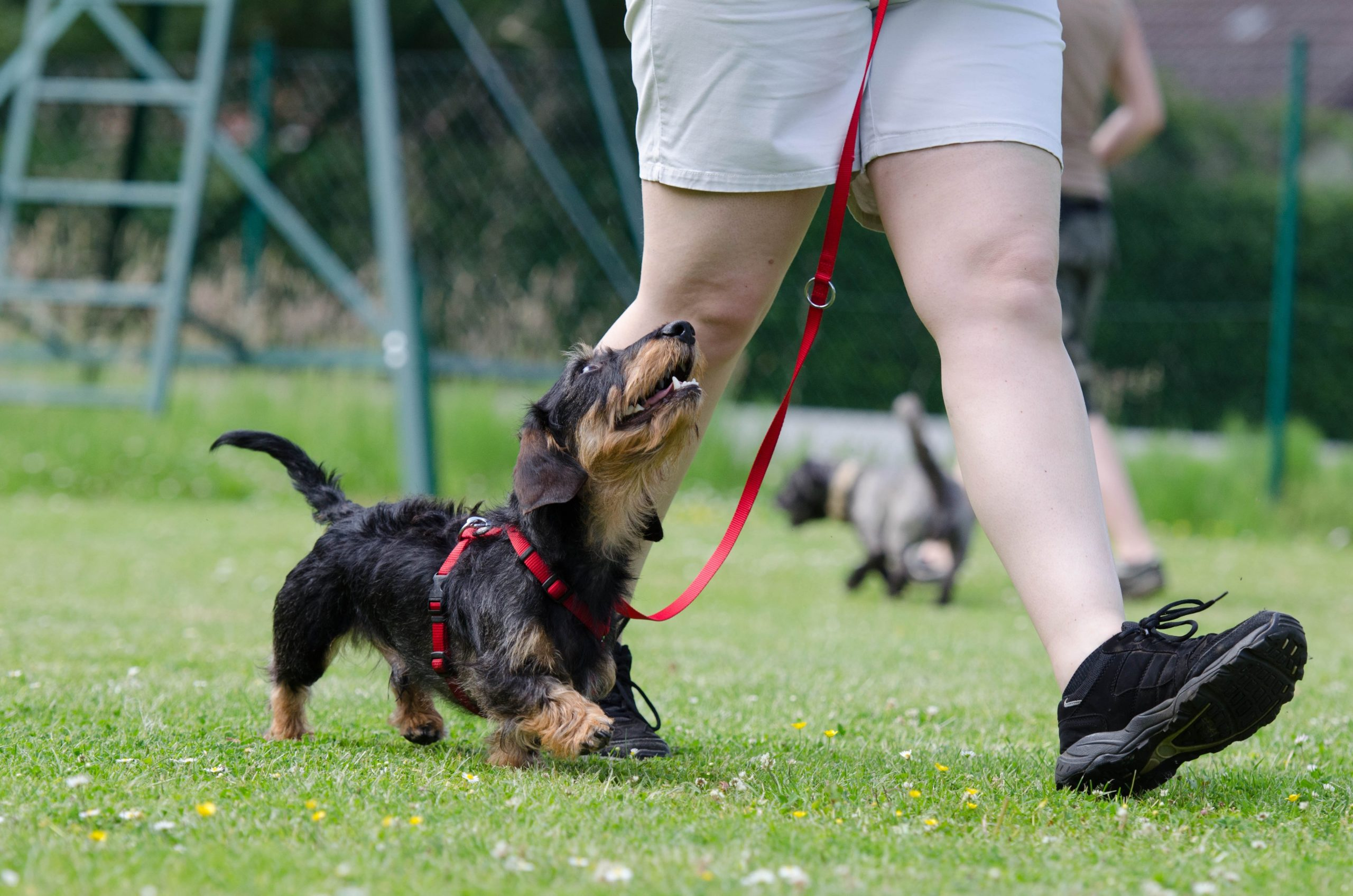 How to Leash Train your Dog!